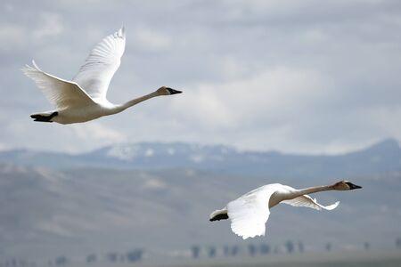 cygnus buccinator: Trumpeter Swans (Cygnus buccinator) flying