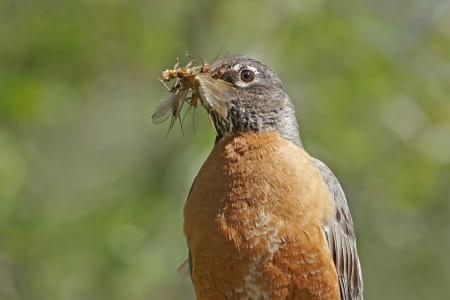 turdus: American Robin  Turdus migratorius  with insects in his beak