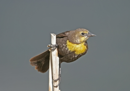 Yellow-headed Blackbird female  Xanthocephalus xanthocephalus  Stock Photo - 17545789