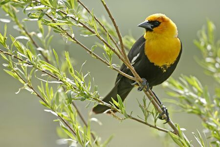 Yellow-headed Blackbird male  Xanthocephalus xanthocephalus Stock Photo - 17545878