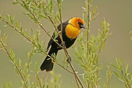 Yellow-headed Blackbird male  Xanthocephalus xanthocephalus