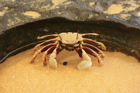 ghost rock: Horn-eyed ghost crab (Ocypode ceratophthalmus) on a rock Stock Photo