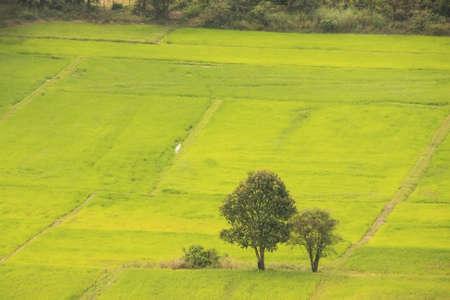 Rijst veld, Cambodja, Zuidoost-Azië
