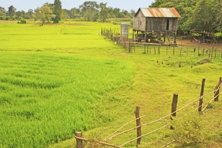 Stilt house near rice field, Cambodia, Southeast Asia