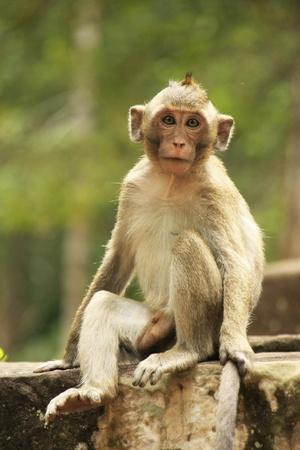 macaque: Macaque � longue queue