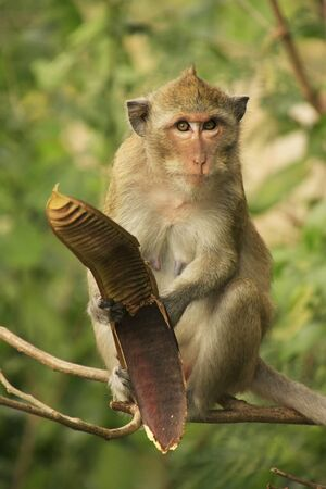 Long-tailed macaque eating tree seeds