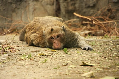 Long-tailed macaque laying on a ground 版權商用圖片