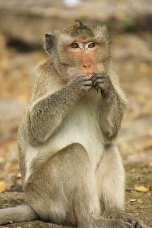 Long-tailed macaque eating