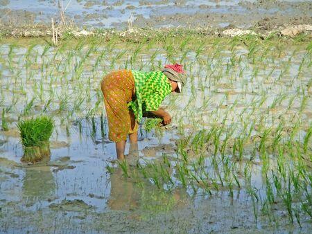 Woman planting rice, Cambodia, Southeast Asia photo