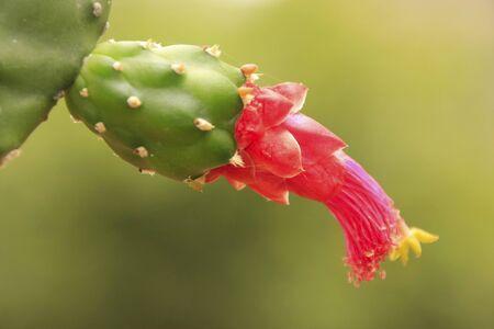 Flower of Prickly pear cactus (Opuntia sp.)