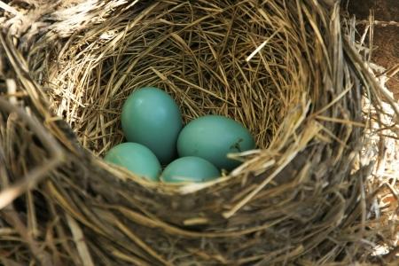 turdus: American Robin (Turdus migratorius) nest with eggs