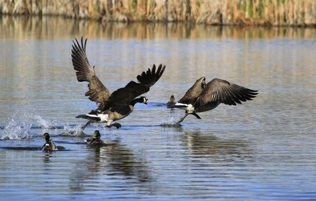 canadensis:  Canada Geese (Branta canadensis) chasing each other