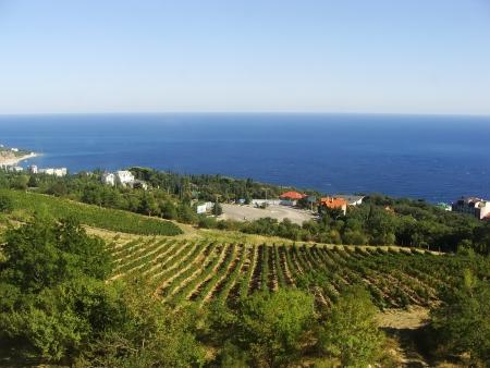 Grape vines at Crimea coast, Ukraine photo