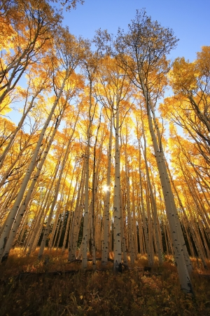 Aspen trees with fall color, San Juan National Forest, Colorado, USA photo