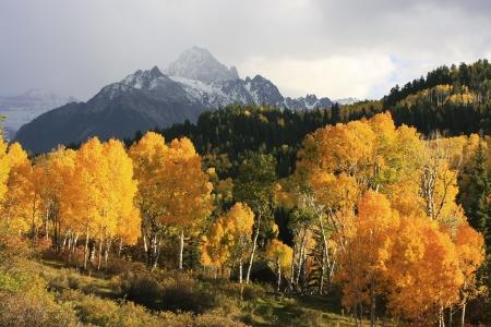 aspen tree: Mount Sneffels Range, Colorado, USA