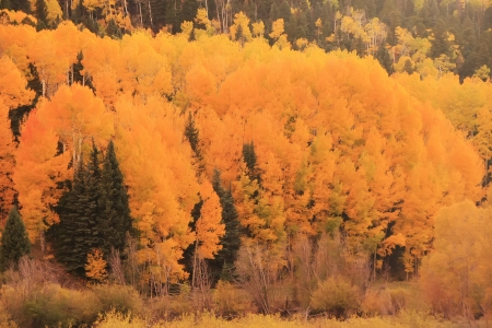 Aspen forest in a fall, Colorado, USA photo