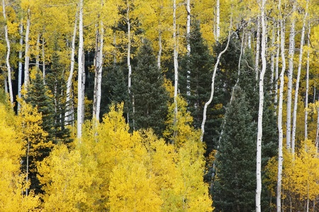 Aspen trees with fall color, San Juan National Forest, Colorado, USA Stock Photo - 20851370