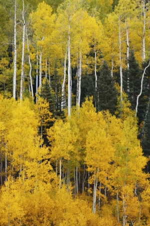 Aspen trees with fall color, San Juan National Forest, Colorado, USA Stock Photo - 20851373