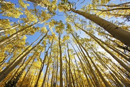 quaking aspen: Aspen trees with fall color, San Juan National Forest, Colorado, USA