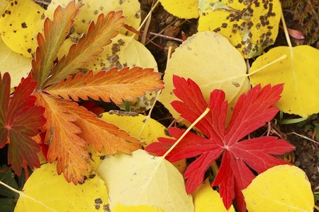 quaking aspen: Close up of colorful leafs with fall color
