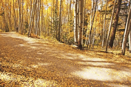 quaking aspen: Aspen forest in a fall, Colorado, USA