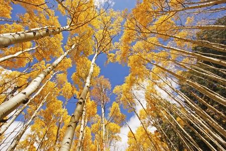 Aspen bomen met vallen kleur, San Juan National Forest, Colorado, Verenigde Staten Stockfoto