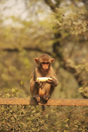 Young Rhesus Macaque eating banana, New Delhi, India photo