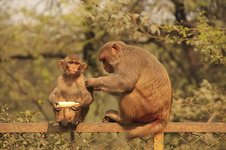 Rhesus Macaque grooming young macaque, New Delhi, India photo