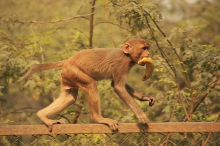 Young Rhesus Macaque walking on a fence, New Delhi, India photo