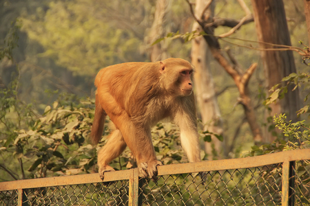Rhesus Macaque walking on a fence, New Delhi, India photo