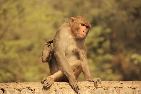 Rhesus Macaque sitting on a fence in the street, New Delhi, India photo