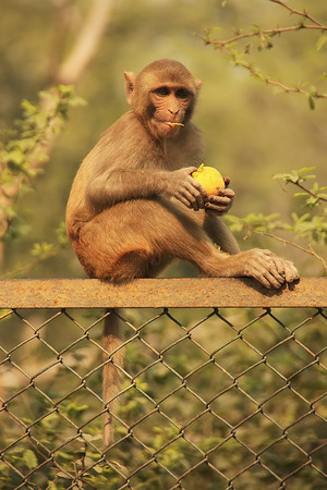 Rhesus Macaque eating an apple, New Delhi, India photo