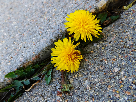 crack: Dandelion flowers growing through crack in asphalt Stock Photo