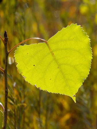 cottonwood tree: Close up of cottonwood tree leaf