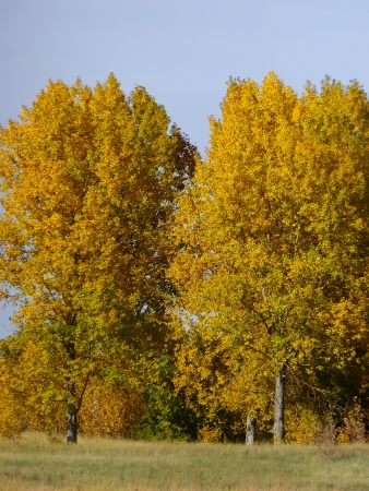 cottonwood  tree: Cottonwood trees with fall color Stock Photo
