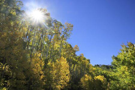 quaking aspen: Aspen trees with fall color, San Juan National Forest, Colorado, USA  Stock Photo