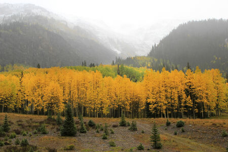 uncompahgre national forest: Aspen trees with fall color during snowstorm, Uncompahgre National Forest, Colorado