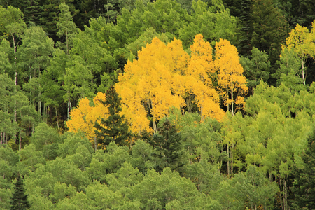 uncompahgre national forest: Aspen trees with fall color, Uncompahgre National Forest, Colorado, USA Stock Photo