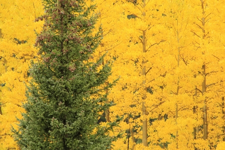 quaking aspen: Aspen trees with fall color, Uncompahgre National Forest, Colorado, USA Stock Photo