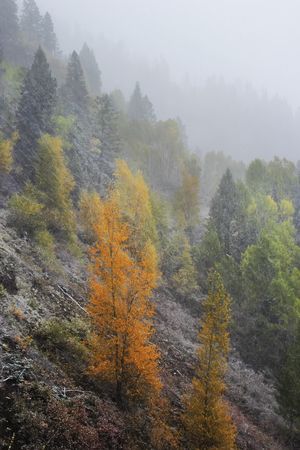 Pine forest in snowstorm, Mount Sneffels Range, Colorado, USA Reklamní fotografie