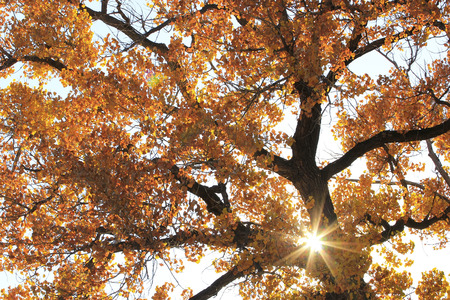 cottonwood tree: Close up of cottonwood tree with sunburst