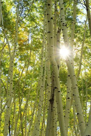 quaking aspen: Aspen trees forest, Rocky Mountains, Colorado, USA Stock Photo