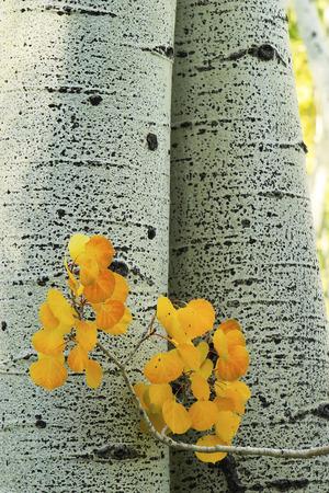 quaking aspen: Yellow aspen leaves with aspen tree trunk, Rocky Mountains, Colorado, USA