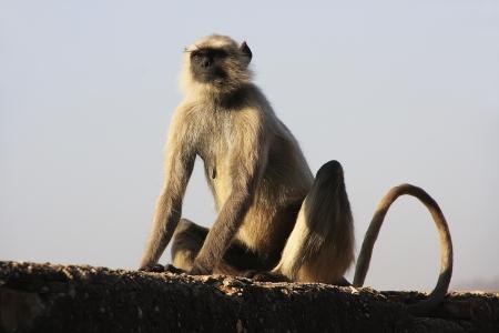 semnopithecus: Gray langur sitting at Taragarh fort, Bundi, Rajasthan, India Stock Photo