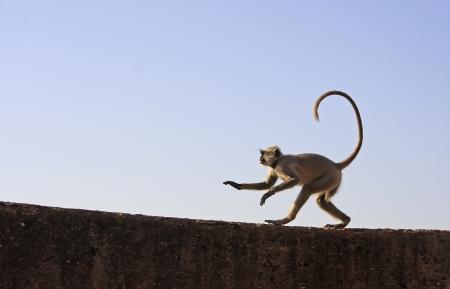 semnopithecus: Gray langur playing at Taragarh fort, Bundi, Rajasthan, India
