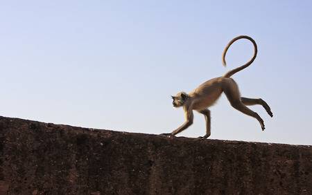 gray langur: Gray langur playing at Taragarh fort, Bundi, Rajasthan, India