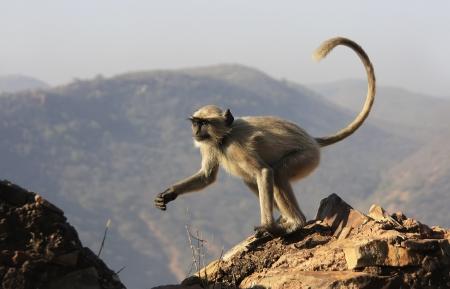 hanuman langur: Gray langur playing at Taragarh fort, Bundi, Rajasthan, India