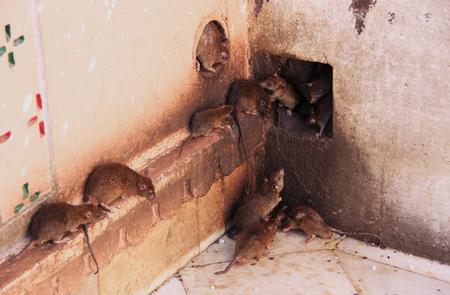 Holy rats running around Karni Mata Temple, Deshnok, Rajasthan, India