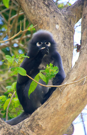 spectacled: Spectacled langur sitting in a tree, Wua Talap island, Ang Thong National Marine Park, Thailand