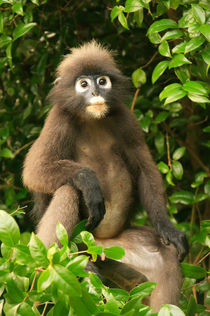 Spectacled langur monkey sitting on a tree